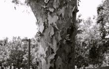 stewart-park-tree