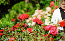 woman-in-roses