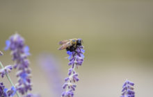 buzzing-bee