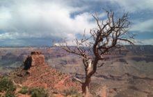 desert-tree